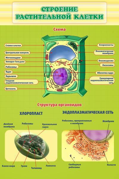 Биология. Строение растительной клетки